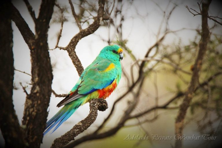 birdlife, native birds, Wombat Tracking Tour, Adelaide Private Tours