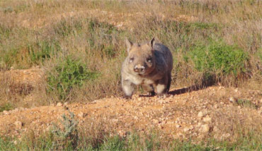 Wombat Tracking Tour Moorunde Wildlife Reserve