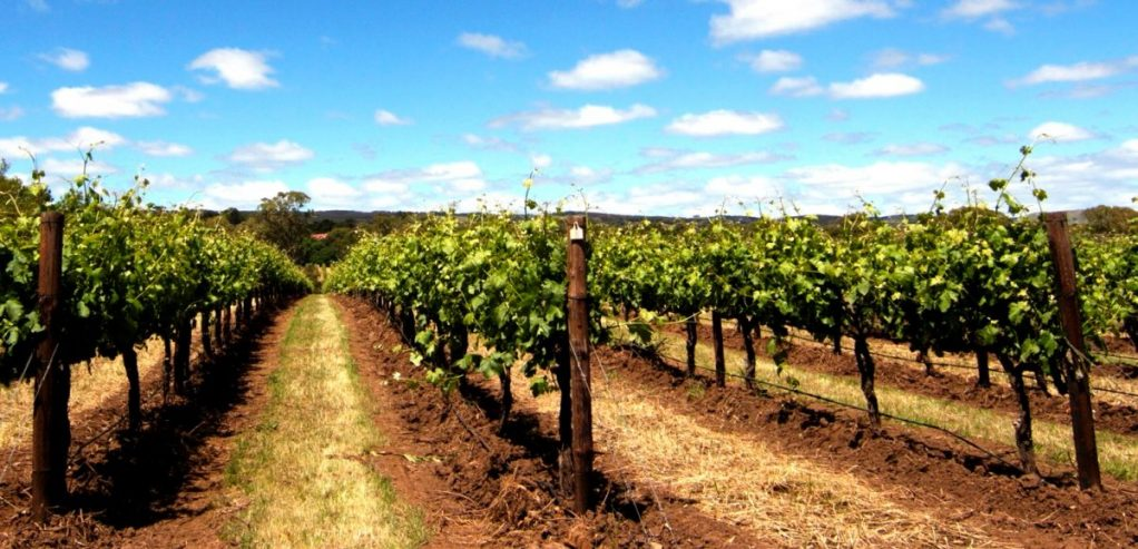 IMG_2286 grapevines Sandra resized cropped