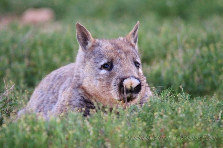 Southern Hairy Nosed Wombat, Wombat Tracking Tour, Adelaide Private Tours