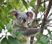 Koala Hills to Sea Tour